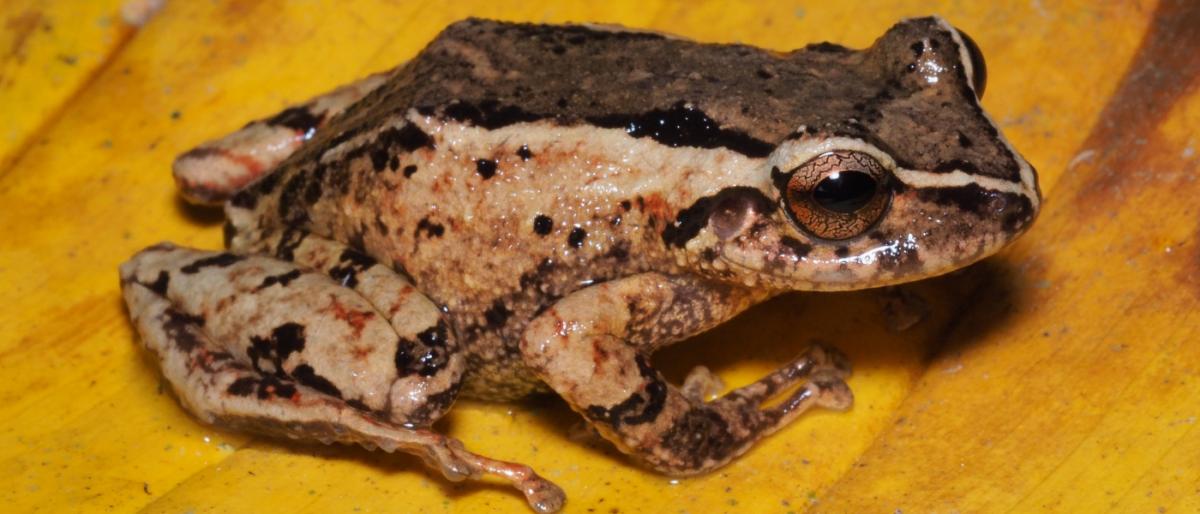 Investigadores UTPL descubren nueva rana