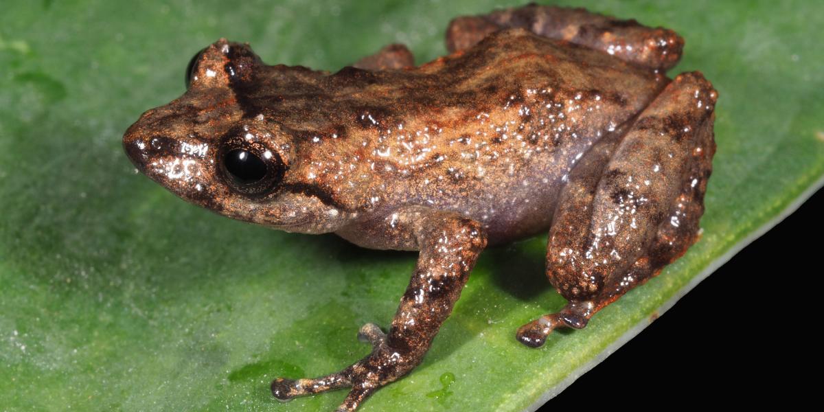 Docentes UTPL presentan 2 nuevas especies de anfibios