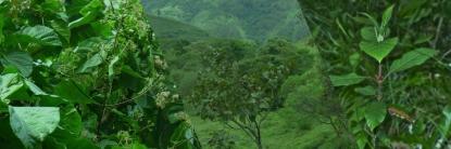 Cascarilla planta nacional de Ecuador