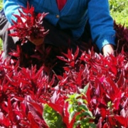 Investigan los usos de las plantas con las que se elaboran la horchata