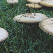 Analizan dos especies de hongos para generar biomateriales