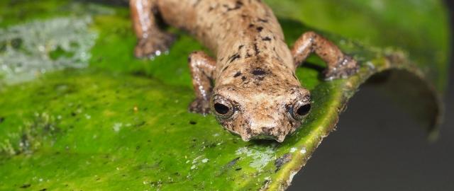 UTPL busca conservar anfibios en peligro de extinción en Zamora, Ecuador