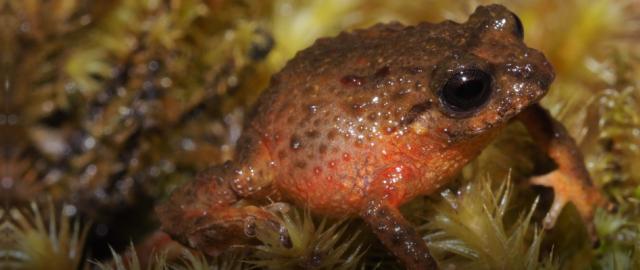 Nueva especie de rana tiktik es descubierta en Ecuador por la UTPL