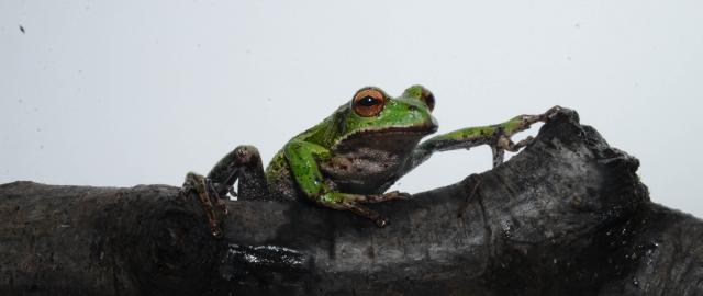 ¿Cómo los anfibios pueden ser indicadores de contaminación ambiental?
